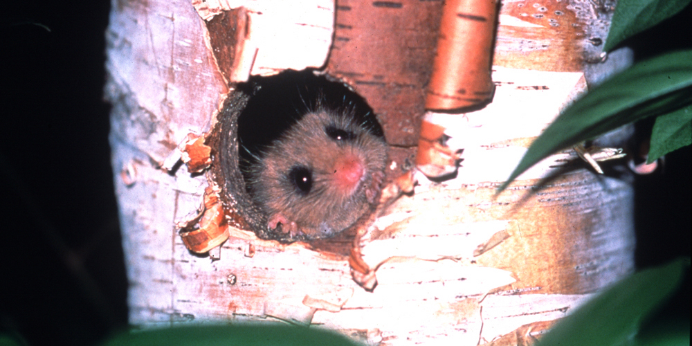 ニホンヤマネ|ヤマネ・いきもの研究所🄫Dormouse & Wildlife Institute